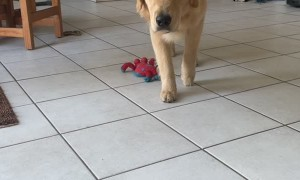 Puppy Dog Pounces After Slowly Stalking Its Human