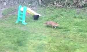Fox and Feline Play in Garden