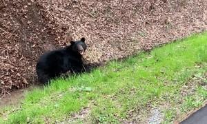 Black Bear Tries to Drag Wild Boar Into Woods