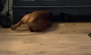 Determined Dachshund Tries to Get Ball From Under Furniture
