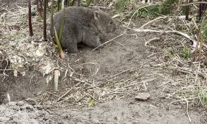 Baby Wombat Scratches an Itch on Ironically Named Flower