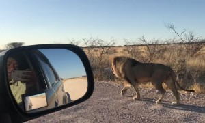 Lion Walks With Car Like a Boss