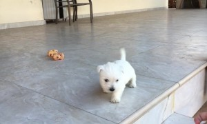 Tiny Puppy Conquers Steps For The Very First Time