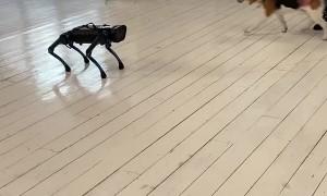 Real Dog Doesn't Like Robot Dog
