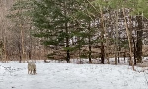 Curious Coyote Tries to Engage with Dog