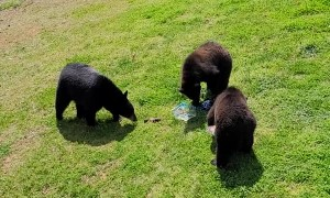 Bears Raid Truck Bed for a Snack