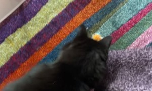 Kitty Playing Fetch Slides Face First Into Wall