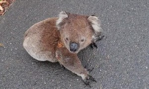 Koala Relocated off the Road on Blind Corner