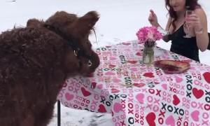 Cow Enjoys Romantic Valentines Dinner