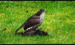 Sparrowhawk Finishing a Blackbird in Slow Motion