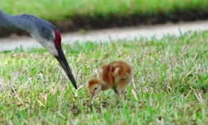 Baby Sandhill Crane Learning to Find and Eat Bugs
