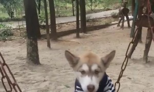 Doggy Sits on Playground Swing