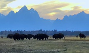 Wild Buffalo Herd Grazing in Front of the Tetons