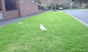 Extremely Rare White Magpie Spotted Having a Snack