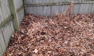 Dog Disappears into Leaf Pile Hideaway