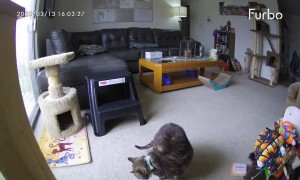 Pet Camera Accidentally Throws Treat onto Cats Back