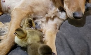 Ducklings Snuggle up to Sweet Retriever
