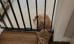 Sneaky Kitty Can't Quite Squeeze under Gate
