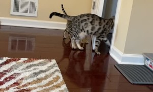 Adult Bengal Cat Teaching Kitten How to Open Doors