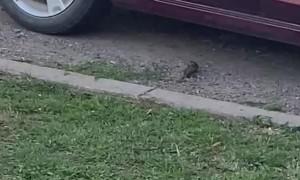 Birds Battle in Driveway