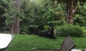 Black Bear Makes Itself at Home in Backyard
