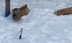 Pair of Foxes Playing in the Snow