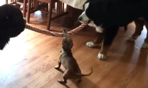 Tiny Puppy Easily Beats Two Giant Dogs At Tug-Of-War