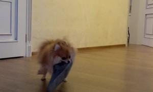 Pomeranian Shakes Slipper