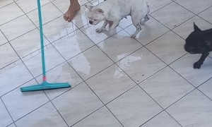 Playful Bulldogs Have Fun During Floor Cleaning