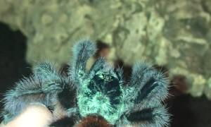 Tarantula Jumps From Hand Toward Terrarium
