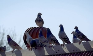 Pigeon Hilariously Goes For Ride On Spinning Roof Vent