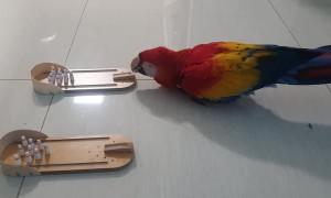 Smart Parrot Bowls a Few Lanes