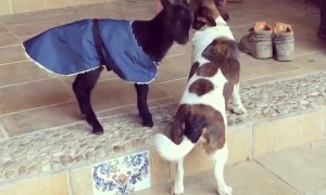 Budding Friendship Between Baby Goat and Dog