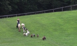 Dogs, Ducks, Goats and Chickens Go For Walk And It's The Cutest Sight