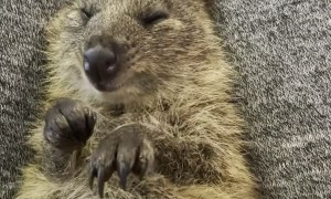 Snuggles with a Cute Quokka
