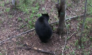 Mama Bear and Cub Investigate Hunter's Tree Stand