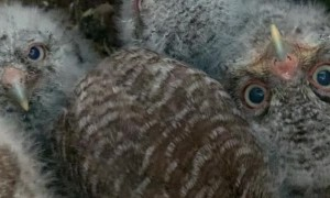 Owl Box Filed With Baby Owls