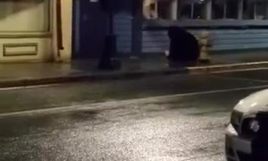 Black Bear Walking in Downtown Juneau