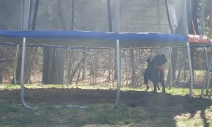 Dog Bounces Ball From Beneath Trampoline