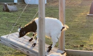 Goat Enjoying Some Time on Special Swing