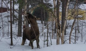Moose Breaks Branch for a Bite