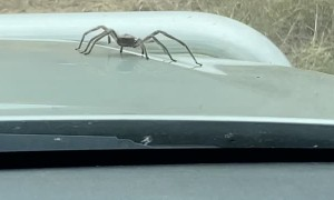 Spider Crawls Out of Engine Bay