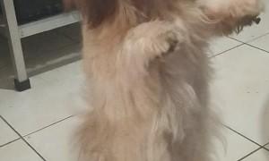 Fluffy Pup Dances A Jig