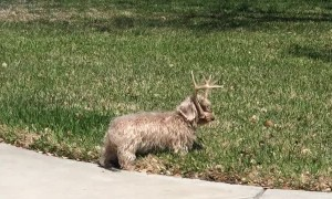 Dog with Antlers Makes Owner Do Double Take