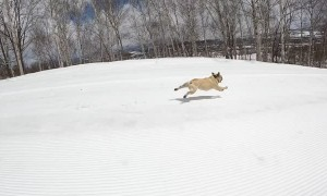 Super Fast French Bulldog Speeds Downhill