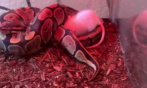 Young Ball Python Seems to Be Broken
