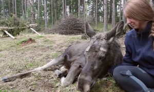Cute Moose Calf Cuddled to Sleep