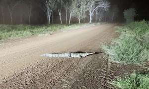 Speedy Crocodile Gallops Into the Grass