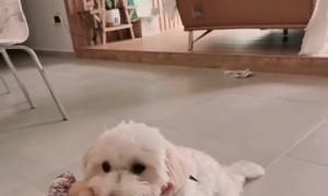 Smart maltipoo shows off most adorable tricks ever