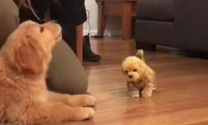 Puppy is super jealous after being introduced to toy dog